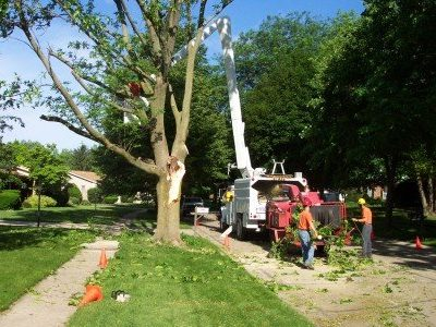 Picture of a bucket truck being used to cut down large branches from a very tall tree in Wyoming, MI