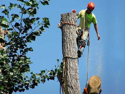 Our tree climber in tree wearing safety gear cutting down large tree sections at a time for our customer in Wyoming, MI